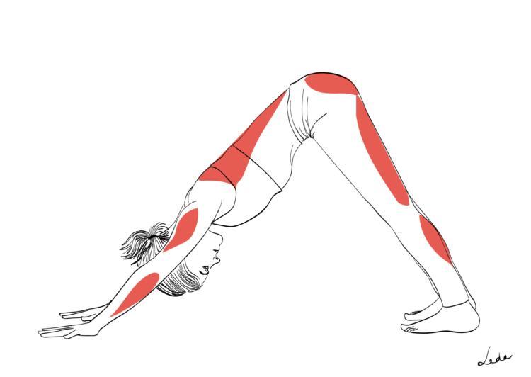 Chien tête en bas - posture avec explications des muscles